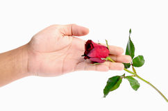 Beautiful men hand holding a red rose isolated on white background Stock Photography