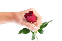 Beautiful men hand holding a red rose isolated on white background Royalty Free Stock Photos