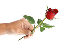 Beautiful men hand holding a red rose isolated on white background Royalty Free Stock Images