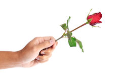 Beautiful men hand holding a red rose on white background Royalty Free Stock Image