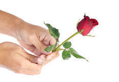 Beautiful men hand holding a red rose on white background Royalty Free Stock Photos