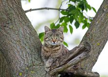 Beautiful menacing tabby cat imposingly collapsed on the tree li. Ke a tiger in the spring Park stock photography