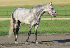 Beautiful Meren gray suit breed Orlov Trotter Royalty Free Stock Images