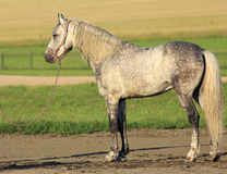 Beautiful Meren gray suit breed Orlov Trotter Stock Photography