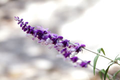 Beautiful Mexican Bush Sage flowers Stock Images