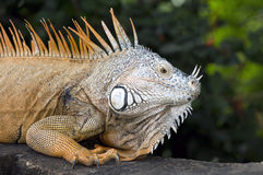 Beautiful Mexican Iguana Royalty Free Stock Image