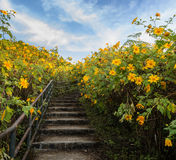 Beautiful mexican sunflower blooming Stock Photos