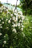 Beautiful Midsummer rose in full blossom. Beautiful Midsummer rose, Rosa spinossissima in full blossom in a finnish summer cottage yard Stock Photo