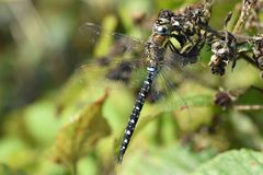 A beautiful Migrant Hawker Dragonfly with its wings unfurled stock photos