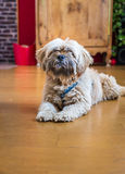 Beautiful milk chocolate havanese dog Royalty Free Stock Photo