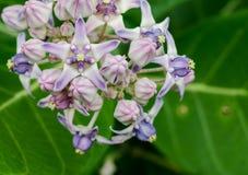 Beautiful Milkweed, Gigantic Swallowwort royalty free stock photography