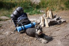 A beautiful miniature schnauzer lies near a prepared fire. Summer trip to nature with a dog. Summer trip. A wonderful summer vacation in nature with your royalty free stock photos