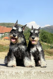 Beautiful miniature schnauzer pair Royalty Free Stock Photo
