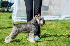 Miniature Schnauzer Zwergschnauzer gray dog stands in the green royalty free stock photo