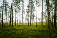 A beautiful mire landscape in Finland - dreamy, foggy look royalty free stock photos