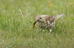 A beautiful Mistle Thrush Turdus viscivorus with a worm in its beak that it has just caught in the grass. A stunning Mistle Thrush Turdus viscivorus with a worm Stock Photos