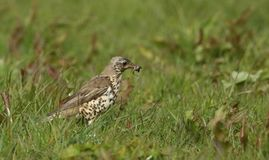 A beautiful Mistle Thrush Turdus viscivorus with a worm in its beak that it has just caught in the grass. A stunning Mistle Thrush Turdus viscivorus with a worm Royalty Free Stock Photo