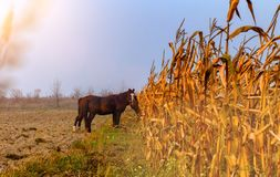 Beautiful misty autumn landscape and horses grazing. On the corn field stock photos