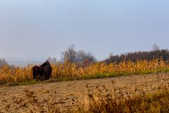 Beautiful misty autumn landscape and horses grazing. On the corn field stock images