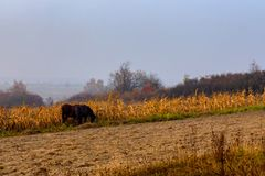 Beautiful misty autumn landscape and horses grazing. On the corn field stock photo
