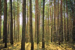 Beautiful misty forest Stock Photography