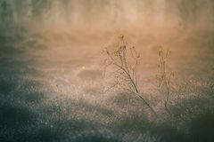 A beautiful misty landscape of a fall in wetlands. Autumn landscape in swamp, soft, diffused light, fog and haze. Sunrise in Latvia, Europe royalty free stock photo