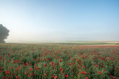 Landscape of poppies Royalty Free Stock Images