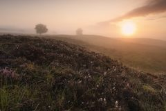 Beautiful misty sunrise over hills. With heather stock photo