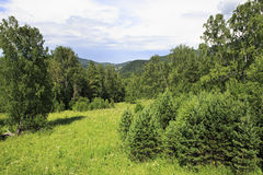 Beautiful mixed forest in Altai Mountains. Royalty Free Stock Image