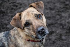 Beautiful mixed shepherd dog is standing in the garden and looking up to the camera stock images