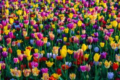 Beautiful mixed tulips in sunny weather in Holland stock photo