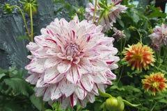 Beautiful mixed white and margenta petal chrysanthemum flower Stock Image