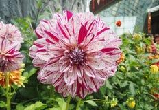Beautiful mixed white and margenta petal chrysanthemum flower Stock Photography