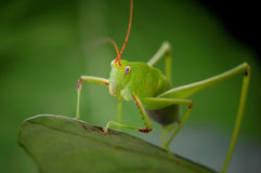 Grasshopper close-up. Beautiful model with pointy head Stock Image
