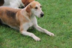 Foxhound Beagle Hunting Dog. Stock Photos