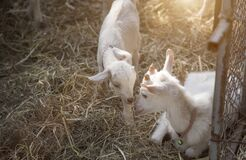 Beautiful moment of baby goat family in agericulture farm