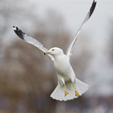 Beautiful moment with the flying gull Stock Images