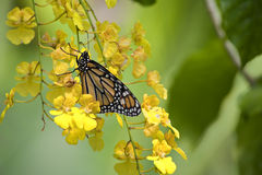 Beautiful Monarch Butterfly Royalty Free Stock Photography