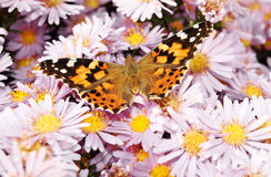Beautiful monarch butterfly Royalty Free Stock Image