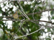 Monarch Butterfly on the Branch. A beautiful Monarch Butterfly on a Branch with a blurred background stock images
