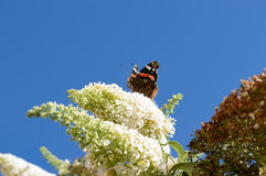 Beautiful monarch butterfly on butterfly bush. With curled up tongue and a clear blue sky in the back Stock Photo
