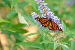 Beautiful monarch butterfly Stock Photos