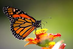 Monarch butterfly. Beautiful monarch butterfly drifting from flower to flower to sip some nectar royalty free stock photos
