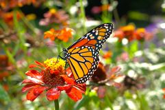 Monarch butterfly. Beautiful monarch butterfly drifting from flower to flower to sip some nectar stock photos
