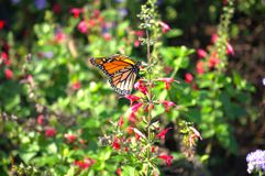Monarch butterfly. Beautiful monarch butterfly drifting from flower to flower to sip some nectar royalty free stock photo