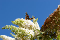 Beautiful monarch butterfly drinking nectar from butterfly bush. With a clear blue sky in the back Stock Photos