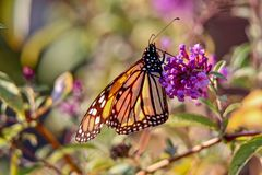 Beautiful Monarch Butterfly feeding on a flower in the sunlight. Beautiful Monarch Butterfly feeding on a lavender flower in a garden, closeup royalty free stock photo