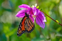 Beautiful Monarch Butterfly feeding on a pink dahlia in the sunlight. In Minnesota stock photography