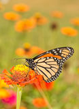 Beautiful Monarch butterfly getting nectar from an orange Zinnia flower Royalty Free Stock Images