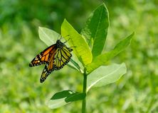 Beautiful monarch butterfly on milkweed. A beautiful monarch butterfly, danaus plexippus, lays it egg on the underside of a milkweed plant stock image